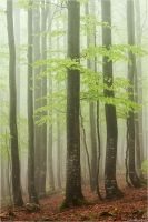 Foggy forest by Aphantopus