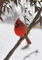 Snow Cardinal by Tailgun2009