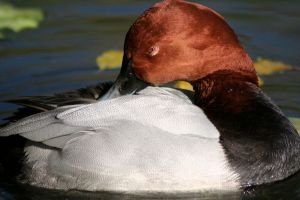 Common Pochard by Alutzza