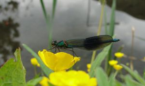 Buttercup Dragonfly by puffthemagicdragon92