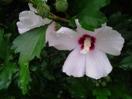 Rose of Sharon by GUDRUN355