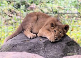 Lion Cub Stock 1 by Ghost1701d