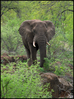 African Elephant by danishdragon