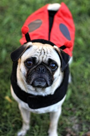 Lady Pug by garnettrules21