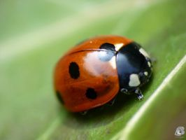 Ladybug close up by IndianRain
