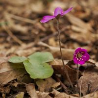 Pink Anemone hepatica by perost