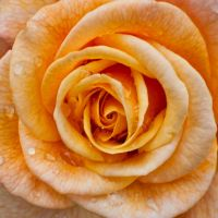 Yellow Rose Core with Droplets by Grovelight