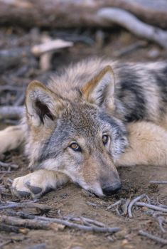 Lone Wolf by WildWolfPup