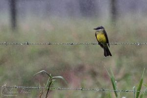 Kingbird in the Rain by mydigitalmind