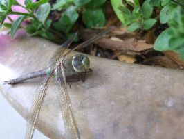 Dragonfly 3 by Skalski-Stock