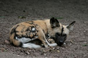 sleeping wild dog by Drezdany-stocks