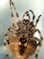 Barn Spider Macro by jbritz22