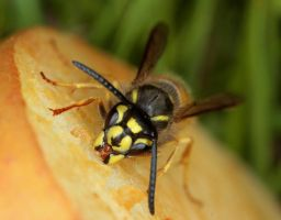 Wasp 1 by cathy001