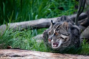 Fishing Cat IV by amrodel