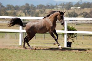 GE Arab rosegrey canter launch by Chunga-Stock