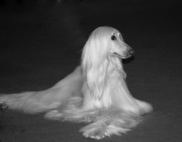 Afghan Hound by Belzique