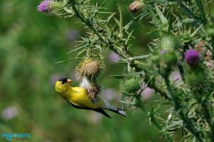 Gold Finch 6378 by mgroberts