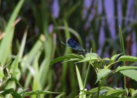 blue dragonfly by narare