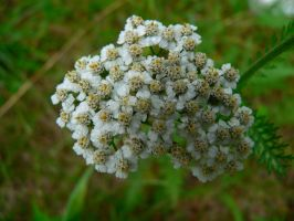 Queen Anne's Lace by Llammastache