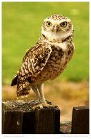 Bold Burrowing Owl by In-the-picture