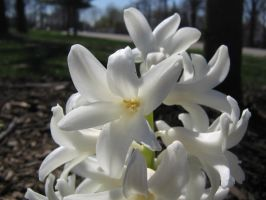 white hyacinths 02 by CotyStock