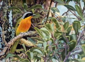 Black-Fronted Bush Shrike by WillemSvdMerwe