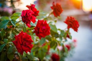 Roses by Garet-Neall