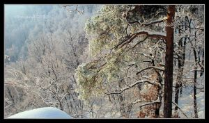 Frosted pine by Rajmund67