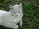 Pangur Ban the cat by whitelighter5