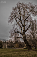 Birch tree in park by mmirkovic
