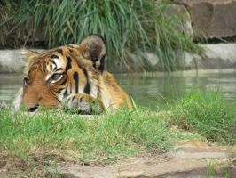 Tiger in the water by chuckitty
