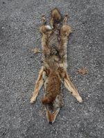 Trapped My First Coyote Ever! by TheDarkWolf117