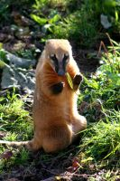Animal Photography - Coati by Applinna