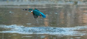 A Kingfisher Emerges by shai739
