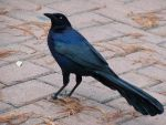 Male Great-Tailed Grackle I by austringer