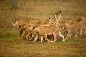 African Lion 30 by catman-suha