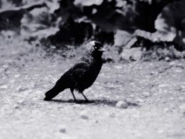 Jackdaw by Distorted-Colours