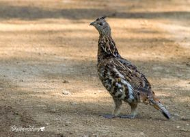 Ruffed Grouse by gigi50