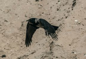 nordic crow stock 4 by VXLPhotography