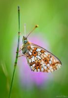 Pearl-Bordered Fritillary by AndreasResch