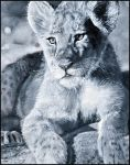Lion Cub in Acrylics by bapity88