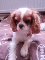 cavalier king charles spaniel by sock-face99