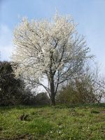 Blooming Tree on a Hill_Stock by MJ84-StockPhotos