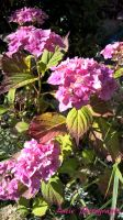 Pink sunlit flowers (WP 20150731 17 42 44 Pro) by xtails2