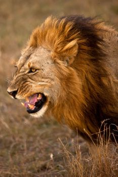 African Lion 23 by catman-suha