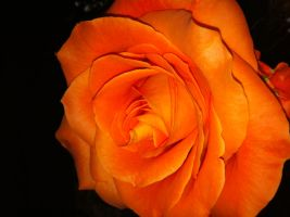 Orange Roes by Tegaria