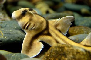 Port Jackson Shark by 8TwilightAngel8