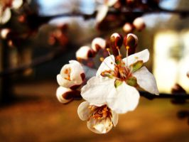 Plum Blossom by AmanitaKnight