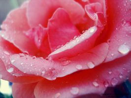 Dew Drop Pink Rose by lindahabiba