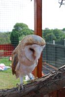 BARN OWL STOCK by Theshelfs